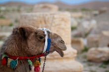Side Portrait Of A Camel (Camelus Dromedarius). Image Features Details Of The Animal's Head And The Mouth Bit With Stylish Decorative Elements. It Is Pictured In Front Of The Ancient Ruins In Palmyra.