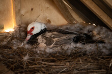 Muscovy Duck On Her Nest