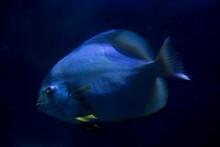 The Orbicular Batfish (Platax ...