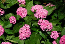 Pink Egyptian Star-Cluster Flo...