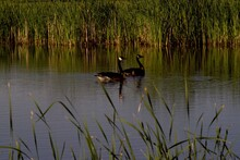 Canada Goose Pair With Downey ...