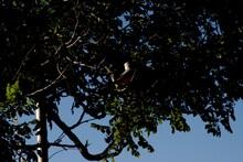 Scissor-tailed Flycatcher, Can...