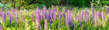 A Lot Of Purple Lupins (Lupinu...