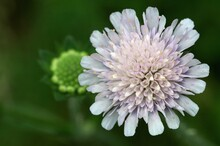 Close-up Of A Pincushion Flower, Green Flower In The Background