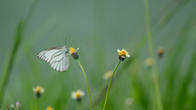 Beautiful White Butterfly Perched On A Yellow Grass Flower, Blurred Green Background