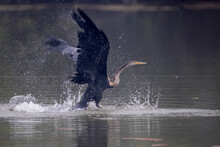The Oriental Darter Or Indian ...