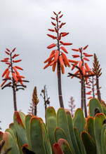 Aloe Plant In Bloom. Spectacular Tall Bright Orange Tubular Flower Spikes Of An Aloe Succulent Species In  Bloom Are Decorative And Long Lasting