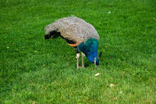 Peacock Stares At The Grass In The Grass. Standing On Two Strong Legs On A Green Lawn. Plumage Is Clearly Visible. Horizontal