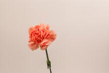 Vertical Shot Of Pink Carnatio...