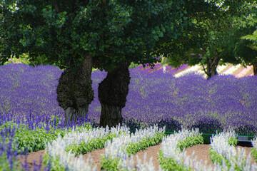 Fototapeta Lawenda 7月のファーム富田ラベンダーのある風景