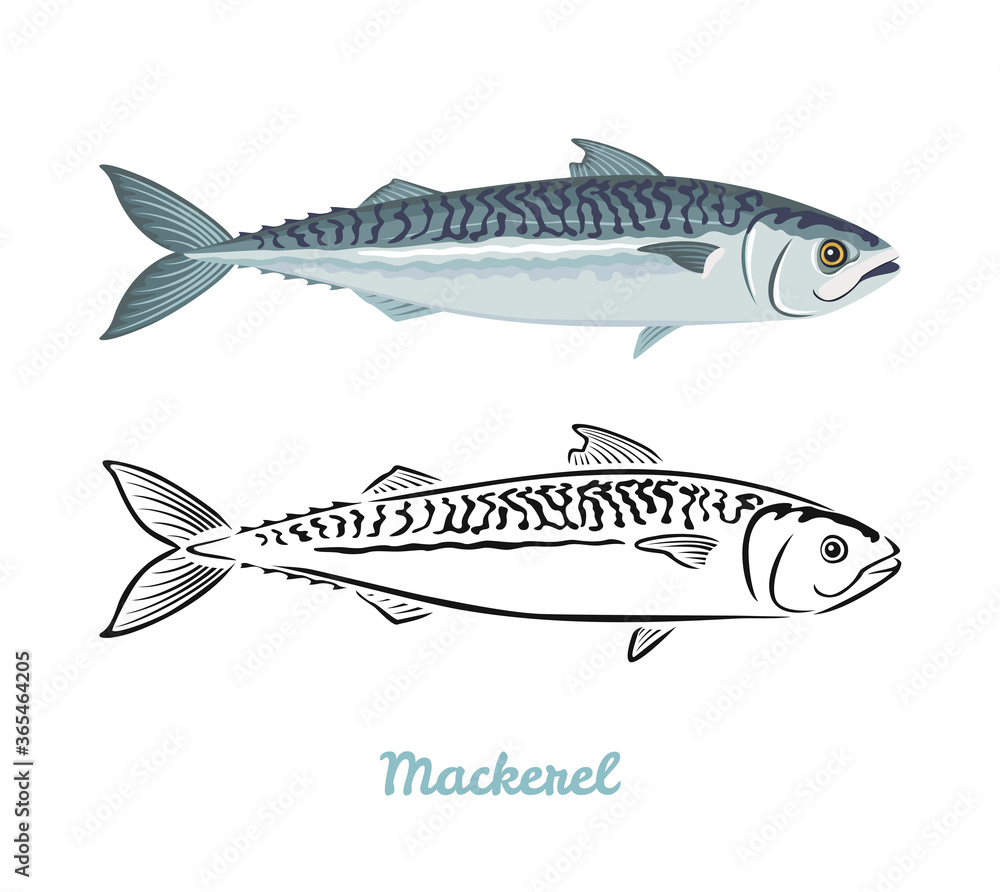 Fototapeta Mackerel fish vector color illustration and black and white outline.
