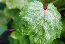 Close-up Of Green Okra Pods Gr...