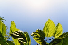 Blue Sky Background With Mulberry Leaves Pierced By The Bright Sun.