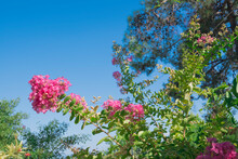 Pink Flowers On Branches On Blue Sky Background