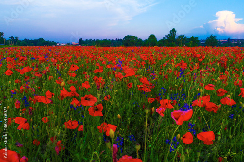 Fototapeta Large field of red poppy flowers in early summer