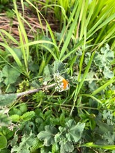 Male Orange Tip Butterfly On G...