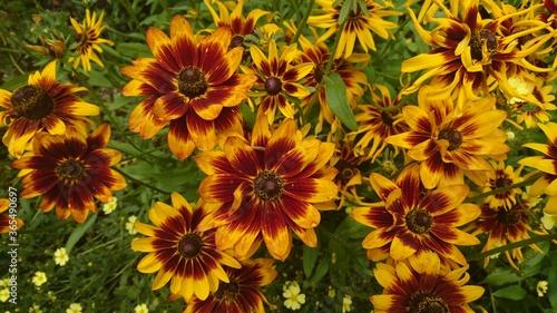 Fotografia, Obraz black-eyed Susans flowers in the summer