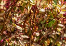 """Painted Lady Butterfly, With Closed Wings Showing Underside, In Summer Garden In Ireland. """"Vanessa Cardui"""" Camouflaged On Garden Bush In Ireland"""