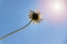 Daisy Flower From Below