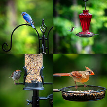 A Collage Of Four American Backyard Birds