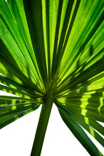 Large Green Leaf Of Palm Tree ...