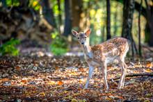 Fallow Deer, Epping Forest