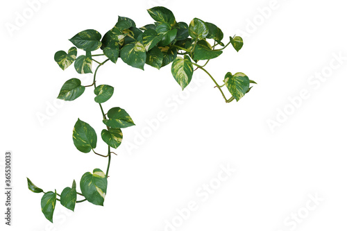 Fotografia Heart shaped green variegated leave hanging vine plant of devil's ivy or golden pothos (Epipremnum aureum) popular foliage tropical houseplant isolated on white with clipping path