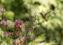 Rufous Hummingbird 7764
