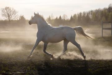 Obraz na płótnie Canvas White horse galloping on paddock. Domestic horse freedom at grassland. Poland, Europe.