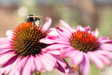 A Buff Tailed Bumblebee On A Pink Echinacea Coneflower.