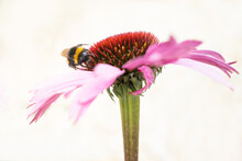 A  Bumblebee  On  A Pink Echin...