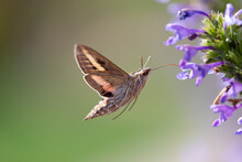 White-lined Sphinx (Hyles Line...