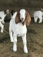 Baby Boer Goats On Farm.