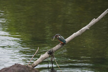 Kingfisher Caught A Fish
