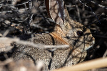 Cottontail Rabbit Hiding In The Bushes
