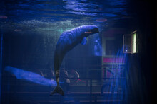 Beluga Whales In Captivity At ...