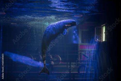 Fototapeta Beluga whales in captivity at an aquarium in Dalian, China
