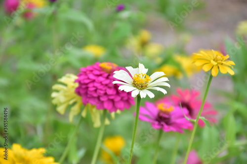 Fototapety, obrazy: Zinnia flowers with natural blurred background.