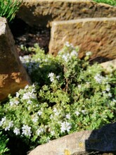 Decorative Blooming Thymus Praecox Highland Cream With Creeping Shoots And Fragrant Leaves. A Delicate Low Alpine Plant On A Rockery Flowerbed On A Sunny Summer Day. Flower Desktop Wallpaper