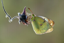 A Butterfly Colias Hyale On A ...