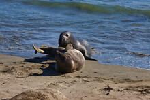 Elephant Seals In San Simeon C...
