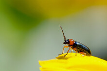 A Small, Shiny Beetle On A Yel...