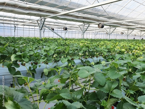 Canvas-taulu Leafy vegetables are growing in indoor farm/vertical farm