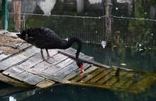 Black Swan In The Park