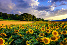 Sunflowers With Sunset