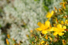 Vibrant Yellow St.John's Wort(Hypericum)with Long Stamens.