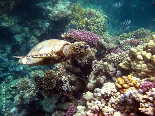 Sea turtles. Great Reef Turtle. Bissa. #365647416