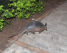 Close Up Of Nine Banded Armadillo On A Footpath At Night