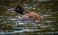 Loon Chick Takes A Ride On Adult Loon On Beatons Lake In The Ottawa National Forest In The Upper Peninsula Of Michigan.