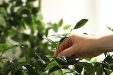 Farmer Picking Green Tea Leave...